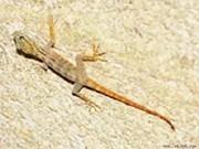 Encuentran 700 geckos de cola amarilla endémicos en isla de Vietnam