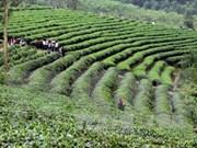 Decenas de miles de agricultores participarán en cultivo sostenible de té