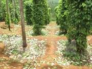 Vietnam exporta 16 mil toneladas de pimienta en dos meses