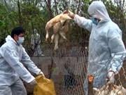 Hanoi establece línea telefónica directa para actividades contra gripe aviar