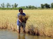 Laos impulsa producción de arroz de alta calidad