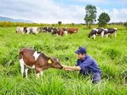 Inauguran primera granja de vacas lecheras orgánicas en Vietnam