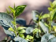 Avizoran futuro prometedor de té de Vietnam en mercado estadounidense
