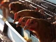 Arabia Saudita suspende importaciones de aves de corral de Vietnam