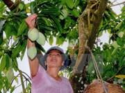 Mangos de provincia norvietnamita conquistarán mercado australiano