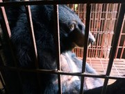 Vietnam se empeña en poner fin al negocio de bilis de oso