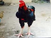 Pollo Ho, la especie más rara y sagrada del pueblo de Lac Tho