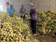 Provincia vietnamita exportará la mitad de su producción de lichi
