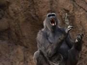 Detectan en Vietnam a monos langures, una especie en peligro de extinción