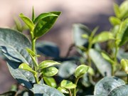 Vietnam traza alta meta para venta de té al exterior