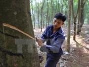 Tailandia, Indonesia y Malasia buscan reducir exportaciones de caucho