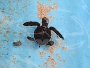 Vietnam protege a tortugas marinas