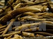 Malasia detecta casos de contrabando de colmillos de elefante y escamas de pangolín