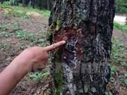Vietnam se esfuerza para proteger variedades de plantas raras