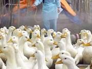 Myanmar levanta restricción al transporte de productos de aves al controlar la H5N1