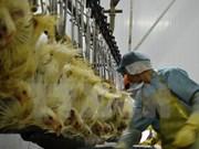 Exportan primer lote de pollo vietnamita a Japón