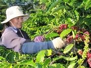 Exportación de café de Vietnam disminuyen un 23 por ciento en 10 meses de 2017