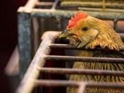 Filipinas logra evitar propagación de gripe aviar