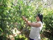 Vietnam y Camboya establecerán una vasta área de producción de anacardos