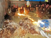 Detectan en Camboya nuevo brote de gripe aviar H5N1