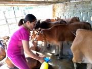 Vietnam inicia producción general de vacuna contra fiebre aftosa del ganado