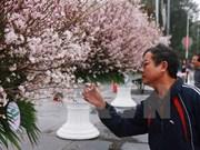 Celebrarán en Hanoi Festival de Flores de Cerezo