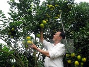 Naranja Vinh: producto nacional protegido en Vietnam