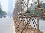 Hanoi planta árboles de arce