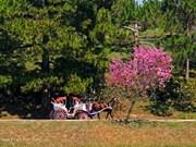 Inauguran Festival de flor de cerezo en ciudad altiplánica vietnamita