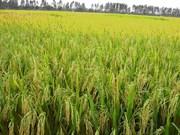 Buscan desarrollar cultivo adaptable al cambio climático en Delta del Mekong
