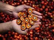 Indonesia: Tendencia creciente de exportación de aceite de palma crudo