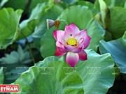 Sopa de semillas de loto, esencia de la gastronomía de Hanoi