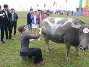 Celebran en Vietnam competencia de pinturas sobre búfalos