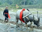 """Festival """"Long tong"""": rasgo particular de la minoría Tay en Vietnam"""