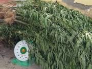 Más de siete mil plantas de marihuana desarraigadas en provincia vietnamita