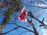 Cultivan árboles de cerezo en Bac Ninh como muestra de la amistad Vietnam- Japón