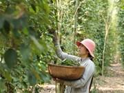 Distrito isleño de Phu Quoc apunta a mil 200 toneladas de pimienta en 2018