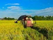 Delta de Mekong inicia cosecha de verano- otoño de arroz