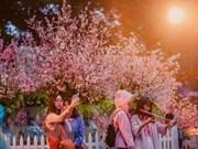 Festivales de flores de cerezo marcan aniversario de relación Japón- Vietnam