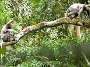 Provincia vietnamita emprende proyecto para proteger especie amenazada de primate