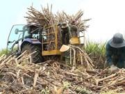 Vietnam mantendrá área de caña de azúcar en 300 mil hectáreas para 2030