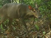 Captan en Vietnam imagen de muntíacos adultos en peligro de extinción