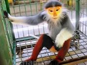 Vietnam se esfuerza para proteger a primate endémico