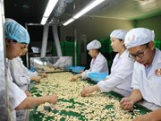 Sobrepasa los mil millones dólares la exportación vietnamita de anacardo