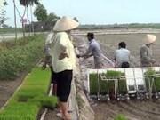 Impulsan mecanización en la producción de arroz en Hanoi