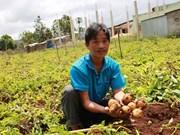 Provincia vietnamita de Lam Dong lucha contra patatas falsificadas de China