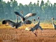 Alertan sobre peligro de extinción de ejemplares de grullas de cabeza roja en Parque nacional vietnamita