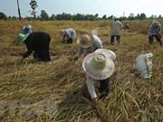 Tailandia dedica casi tres mil millones de dólares a favor del sector arrocero