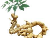 Inauguran en Vietnam portal digital sobre información turística del ginseng Ngoc Linh