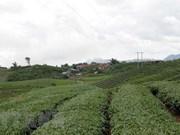 En alza exportación vietnamita de té a mercados extranjeros